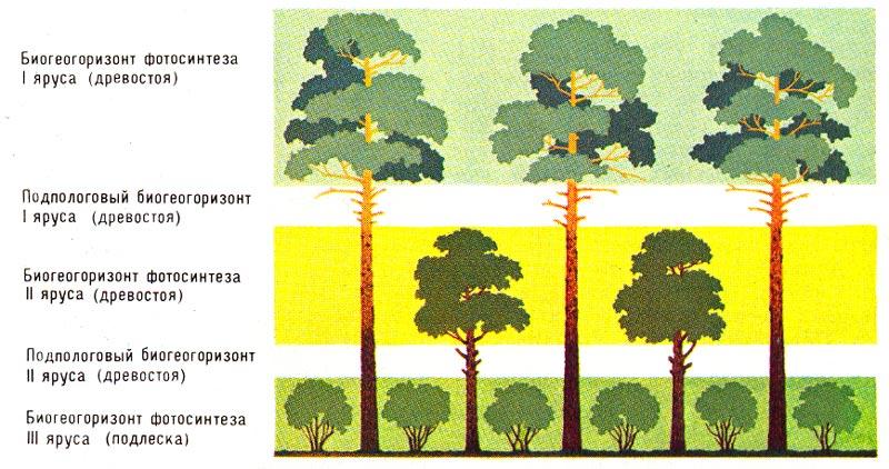 ...структурная часть вертикального расчленения (расслоения горизонтальными поверхностями) биогеоценоза.