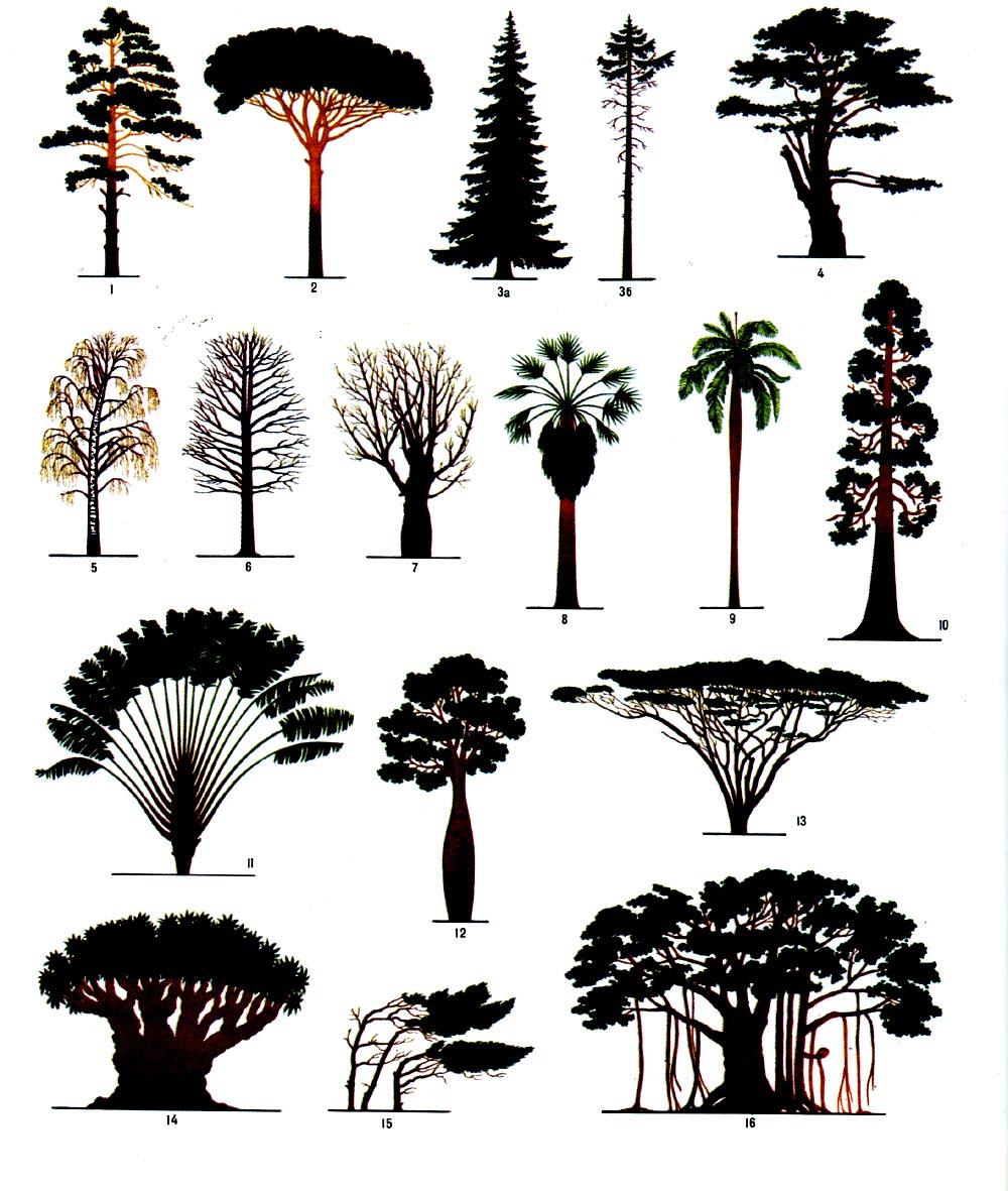 Формы крон деревьев