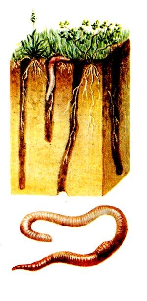 ДОЖДЕВЫЕ ЧЕРВИ, земляные черви, группа семейств кольчатых червей класса...