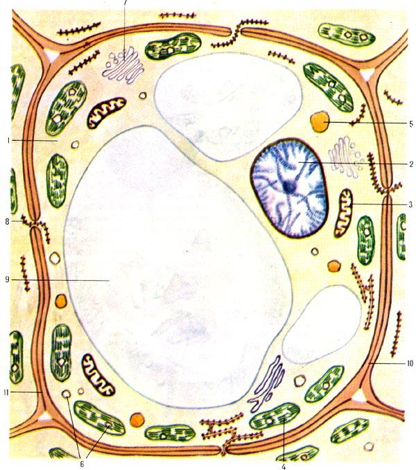 Строение какой клетки?  Как называются органоиды клетки