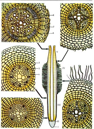 Строение корня (схема).