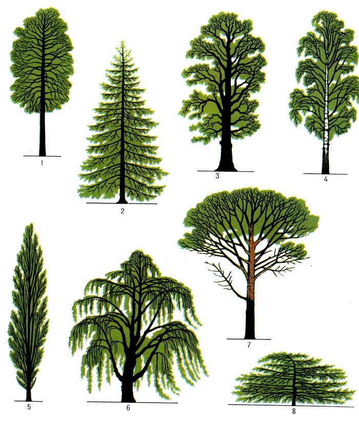 Крона деревьев крона деревьев 1 липы