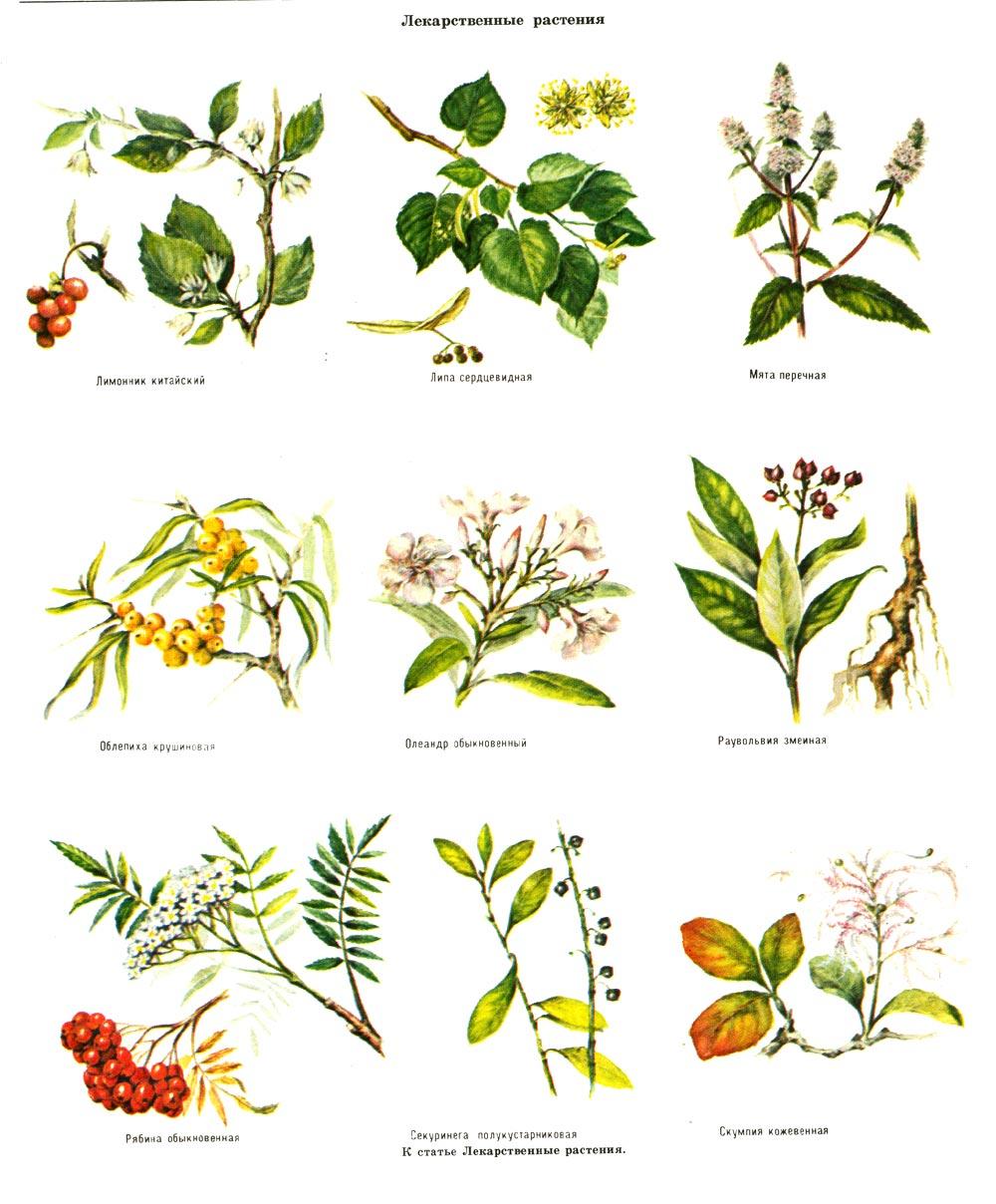 лекарственные растения. фото