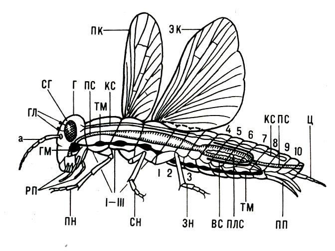 Строение тела насекомого(схема, левая сторона): а - антенна (усик); вс - выделительная система; г - голова; гл...