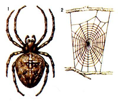 1 - паук (самка),