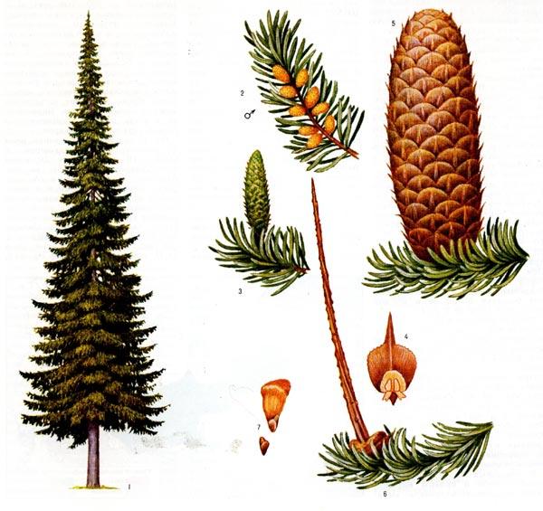 Растения пихта сибирская