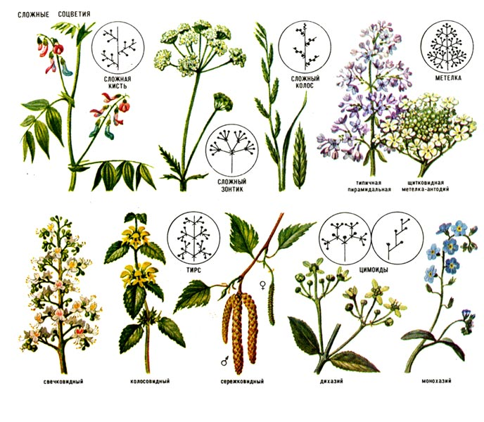 Популярные изображения по запросу Соцветие Википедия.